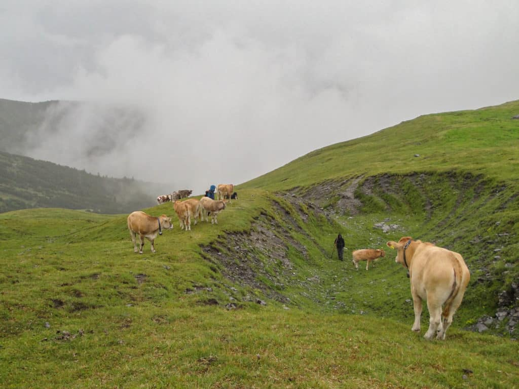 Alpkühe Birch5