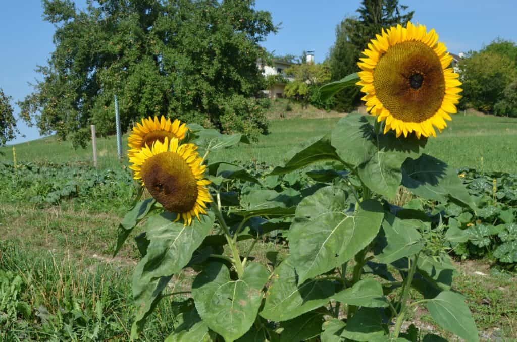 Sonnenblume Birch5